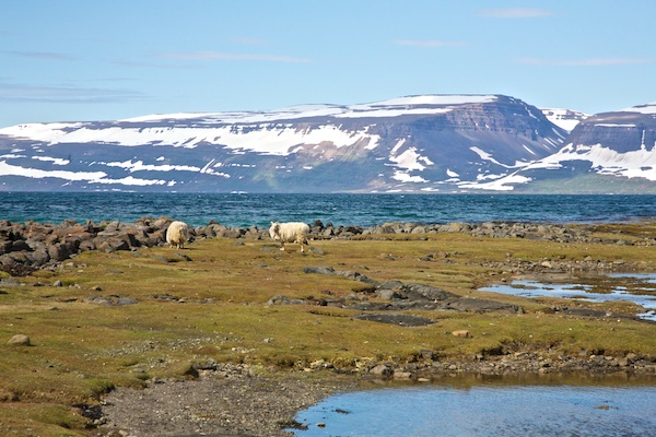 sheep, Iceland, Vytautas Serys