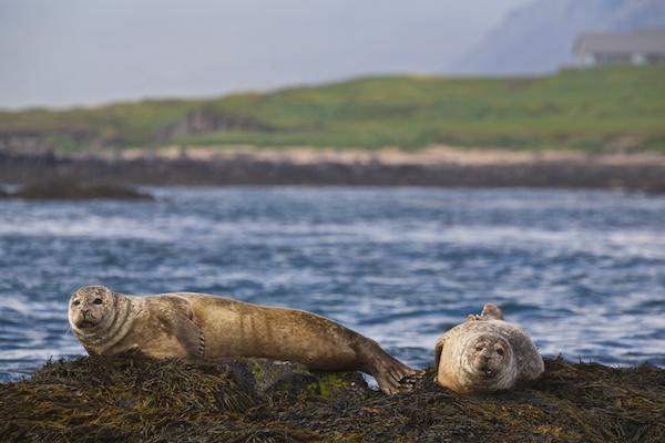 Westfjords, Harbour seal, landscape, Iceland, Vytautas Serys
